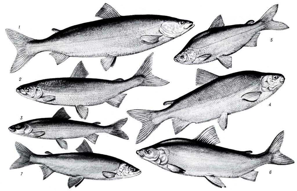 альбоме северная рыба с названием и картинками времена